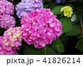 紫陽花 41826214