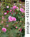 花 バラ 薔薇の写真 41831557