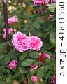 花 バラ 薔薇の写真 41831560