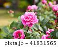 花 バラ 薔薇の写真 41831565