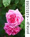 花 バラ 薔薇の写真 41831568