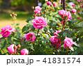 花 バラ 薔薇の写真 41831574