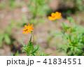 花 キバナコスモス 植物の写真 41834551