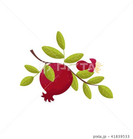 Pomegranate fresh fruit om a branch vector Illustration on a white background 41839533