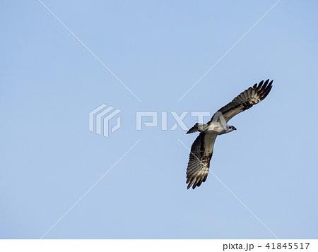 トンビの若鳥の飛翔 41845517