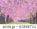 桜並木 41846711