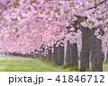 桜並木 41846712