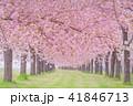 桜並木 41846713