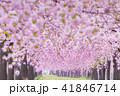桜並木 41846714