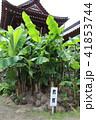 蚶満寺 芭蕉の木 41853744