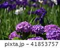 アジサイ 紫陽花 花の写真 41853757