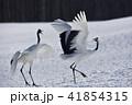 タンチョウ 鶴 ダンスの写真 41854315