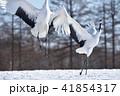 タンチョウ 鶴 ダンスの写真 41854317