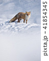 キタキツネ 冬 動物の写真 41854345