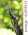 国産オオクワガタの森林の樹木の上で 41859513