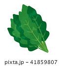 白バック 緑黄色野菜 ホウレン草のイラスト 41859807