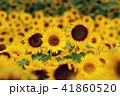 夏イメージ ひまわり 向日葵 41860520