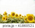 夏イメージ ひまわり 向日葵 41860521