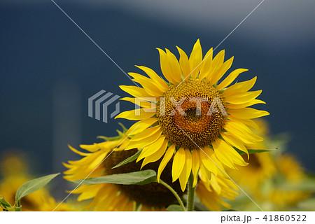 夏イメージ ひまわり 向日葵 41860522