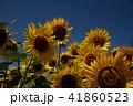 夏イメージ ひまわり 向日葵 41860523