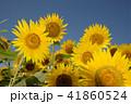夏イメージ ひまわり 向日葵 41860524