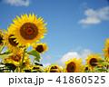 夏イメージ ひまわり 向日葵 41860525