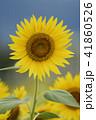 夏イメージ ひまわり 向日葵 41860526