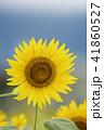 夏イメージ ひまわり 向日葵 41860527