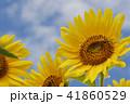 夏イメージ ひまわり 向日葵 41860529