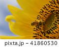 夏イメージ ひまわり 向日葵 41860530