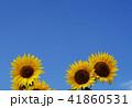 夏イメージ ひまわり 向日葵 41860531