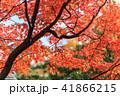 紅葉 もみじ 秋の写真 41866215