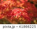 紅葉 もみじ 秋の写真 41866225