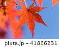 紅葉 もみじ 秋の写真 41866231