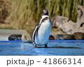 フンボルトペンギン ペンギン 動物園の写真 41866314