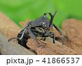 カブト虫 昆虫 兜虫の写真 41866537