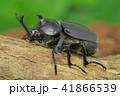カブト虫 (深度合成) 41866539