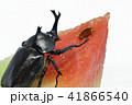 カブト虫とスイカ (深度合成) 41866540