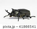 カブト虫 昆虫 兜虫の写真 41866541