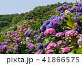あじさい 花 紫陽花の写真 41866575