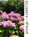 あじさい 花 紫陽花の写真 41866739