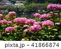 あじさい 花 紫陽花の写真 41866874