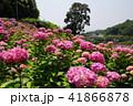 あじさい 花 紫陽花の写真 41866878