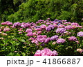 あじさい 花 紫陽花の写真 41866887