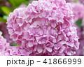 ピンク ピンク色 桃色の写真 41866999