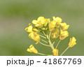 菜の花 花 植物の写真 41867769