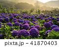 陽明山 紫陽花 アジサイの写真 41870403