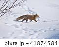 キタキツネ 冬 動物の写真 41874584