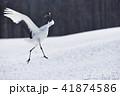 鳥 タンチョウ 野鳥の写真 41874586