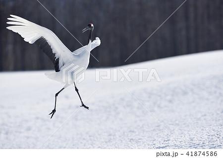 タンチョウのダンス(北海道・鶴居) 41874586